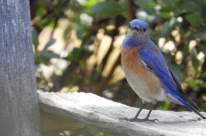 Bluebird Closeup