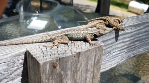 Pack of Lizzards