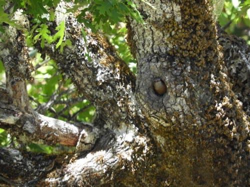 Bluebird peeking out of hole in tree