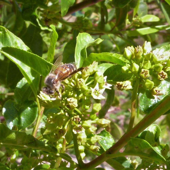 Bee-in-the-Coffeeberry