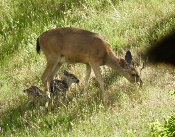 Deer with Fawns
